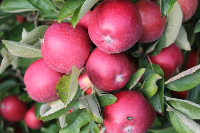Die Apfelernte ist sicher